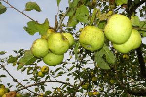 Weldadig Oord - Fruithof Frederiksoord - appels