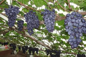 Weldadig Oord Fruithof druiven